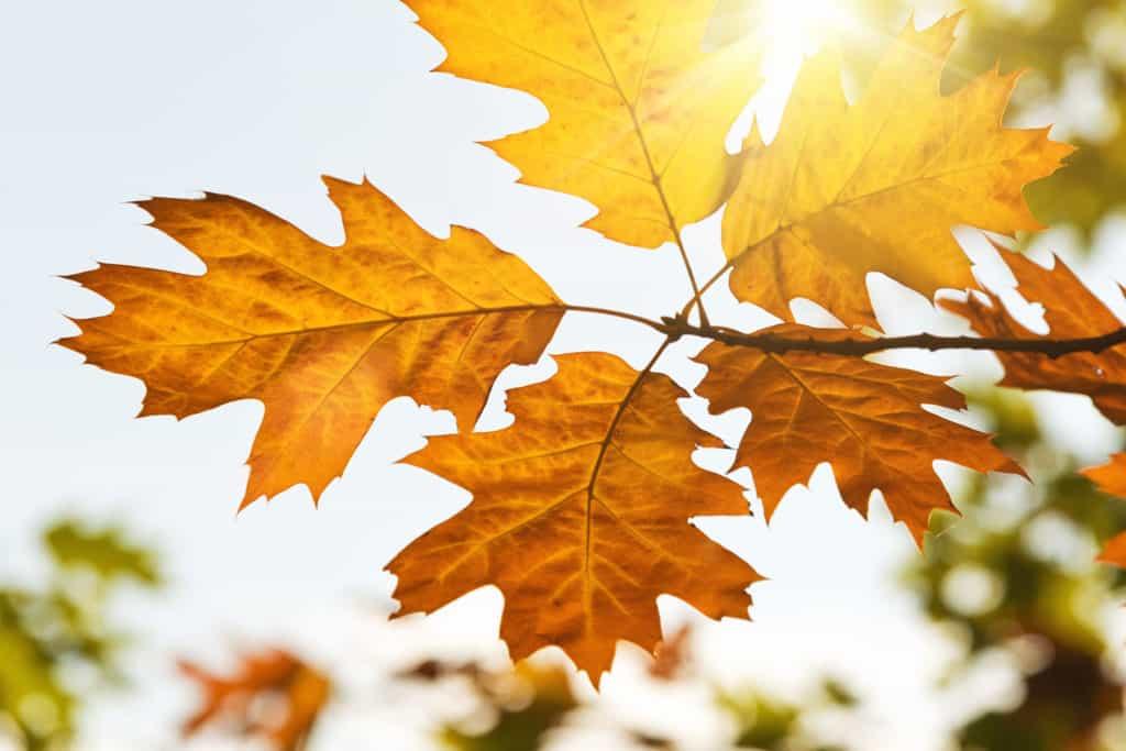 Feuille d'automne au soleil