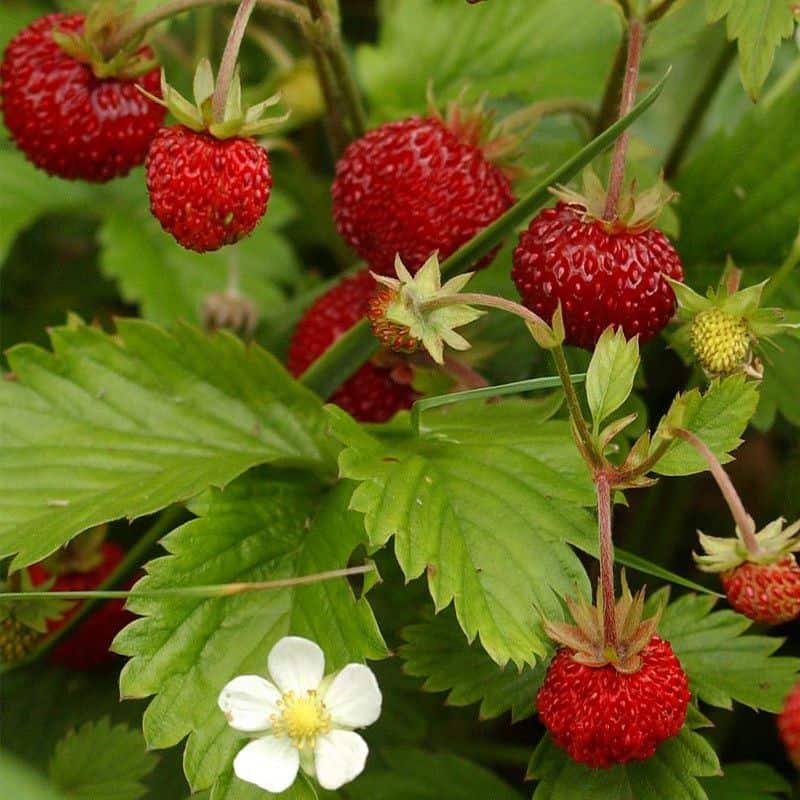 Des fraises des bois