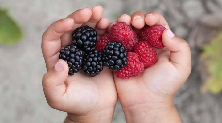 Des fruits rouges dans les mains d'un enfant