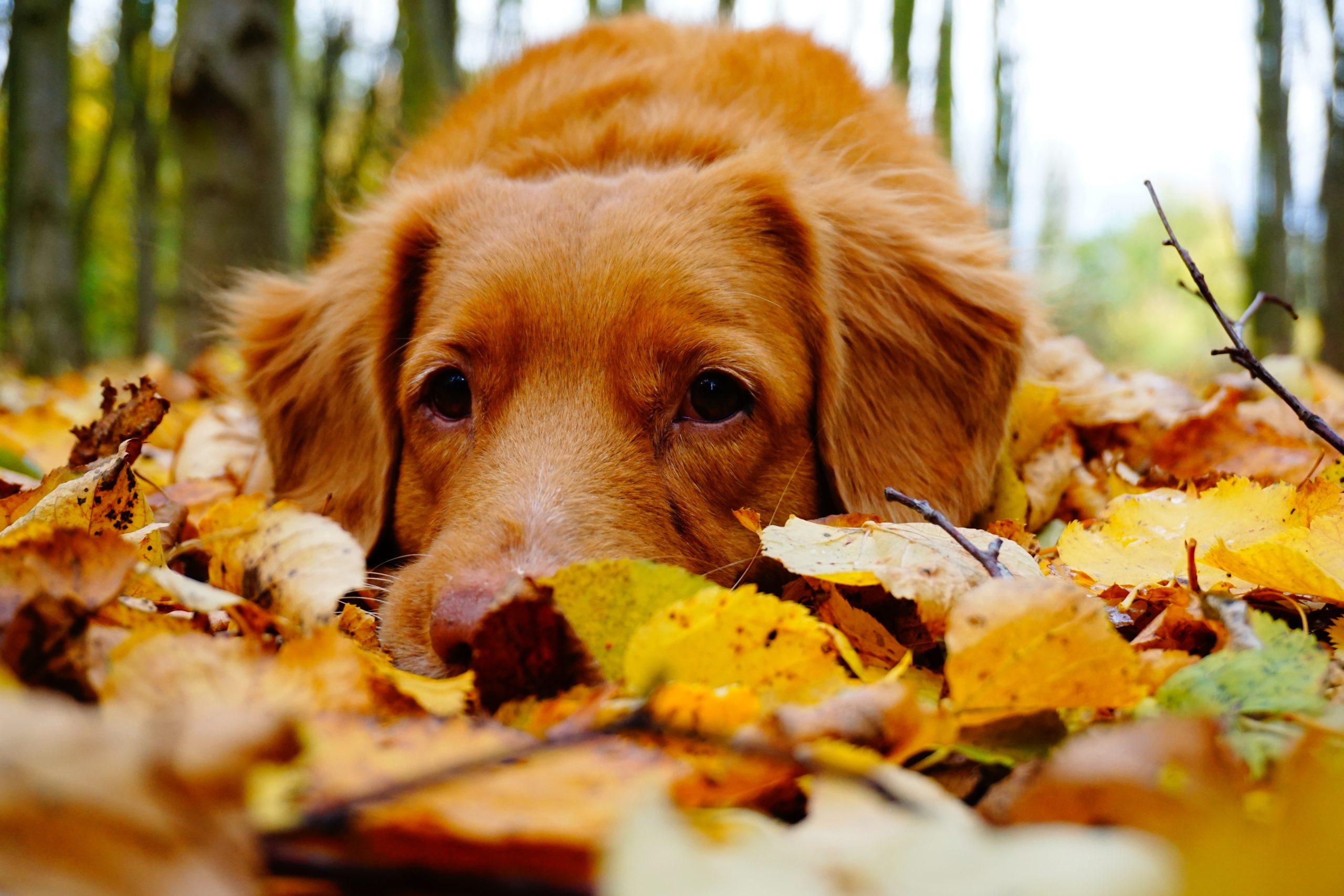 Un chien couché dans les feuilles